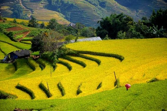 Ruộng bậc thang lúa chín vàng thơ mộng