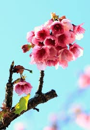 cành hoa anh đào khoe sắc
