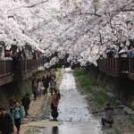 Kinh nghiệm du lịch Hàn Quốc mùa hoa anh Đào
