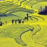 Những đồi hoa cải mênh mông khoe sắc vàng ở Trung Quốc