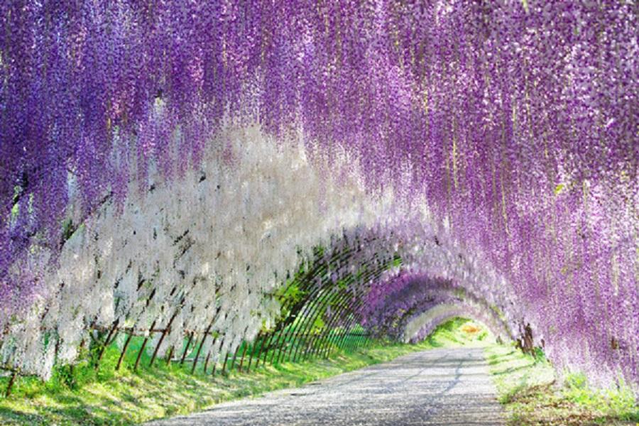Đường hầm qua tử đằng Nhật Bản