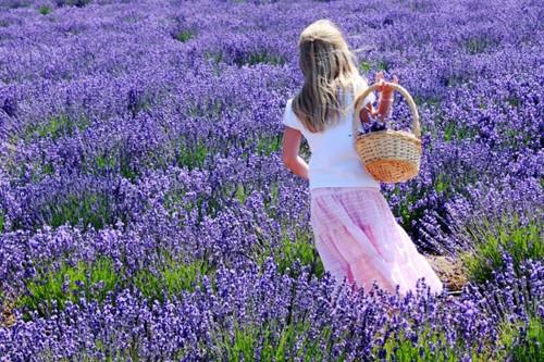 Hoa Oải Hương- Provence (Pháp)
