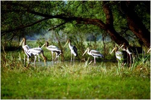 Cò là một loài chim điển hình ở Keoladeo.