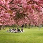 Rực rỡ lễ hội hoa anh đào ở Washington – Mỹ