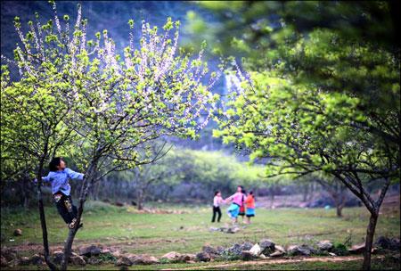 Thiên đường hoa Mộc Châu những ngày giáp Tết