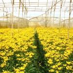 Mùa hoa cúc vàng Đà Lạt