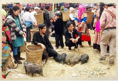 Lợn cắp nách Sapa