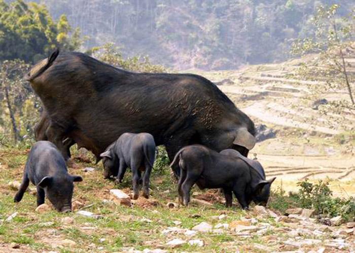 Lợn cắp nách Sapa được nuôi thả tự do, không chuồng trại, không người chăm sóc