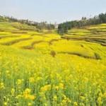 Sapa rực vàng mùa hoa cải.