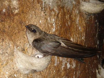 Loài chim yến Nha Trang