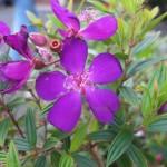 Ngắm hoa mua nở tím Đà Lạt