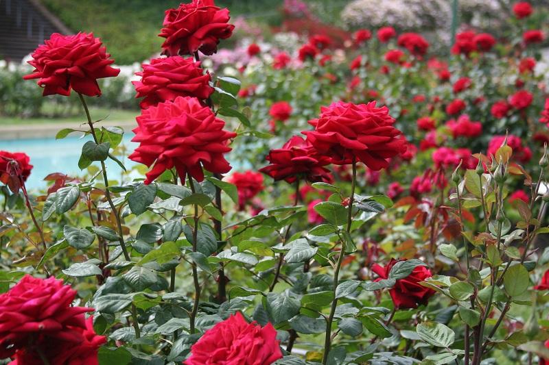 Đến với thung lũng hoa hồng, du khách sẽ bị hấp dẫn bởi hương thơm ngây ngất của triệu triệu đóa hồng đang bừng nở