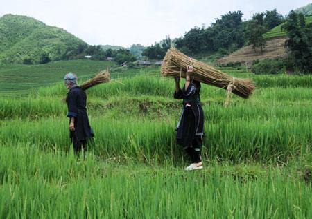 Phụ nữ Sapa thu hoạch lanh