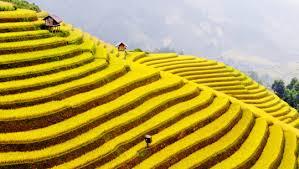 Màu vàng rực rỡ bao phú khắp Sapa vào vụ mùa.
