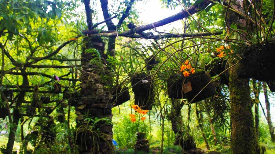 Vườn lan xanh tươi tại núi Hàm Rồng