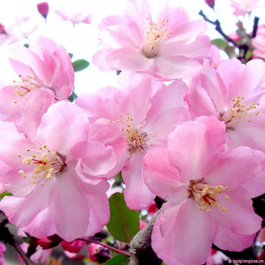 Hoa anh đào nở tại Sapa