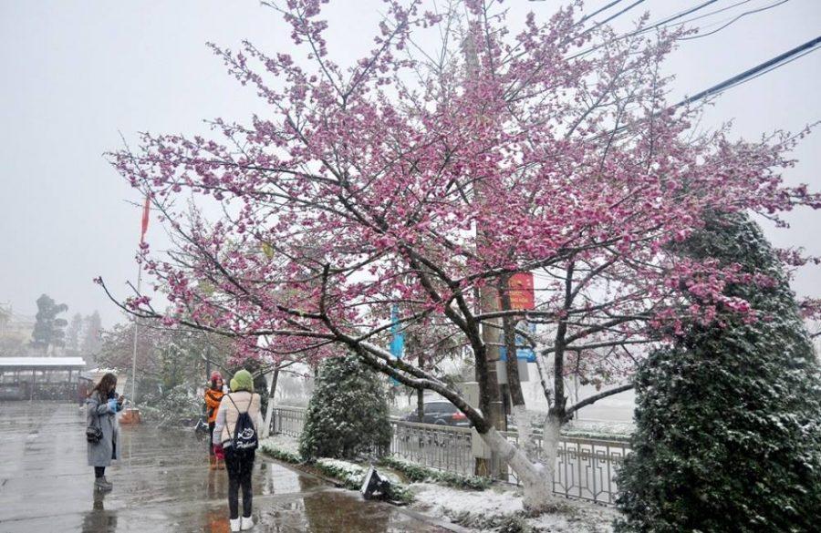 Hoa đào nở ngày cuối đông đầu xuân