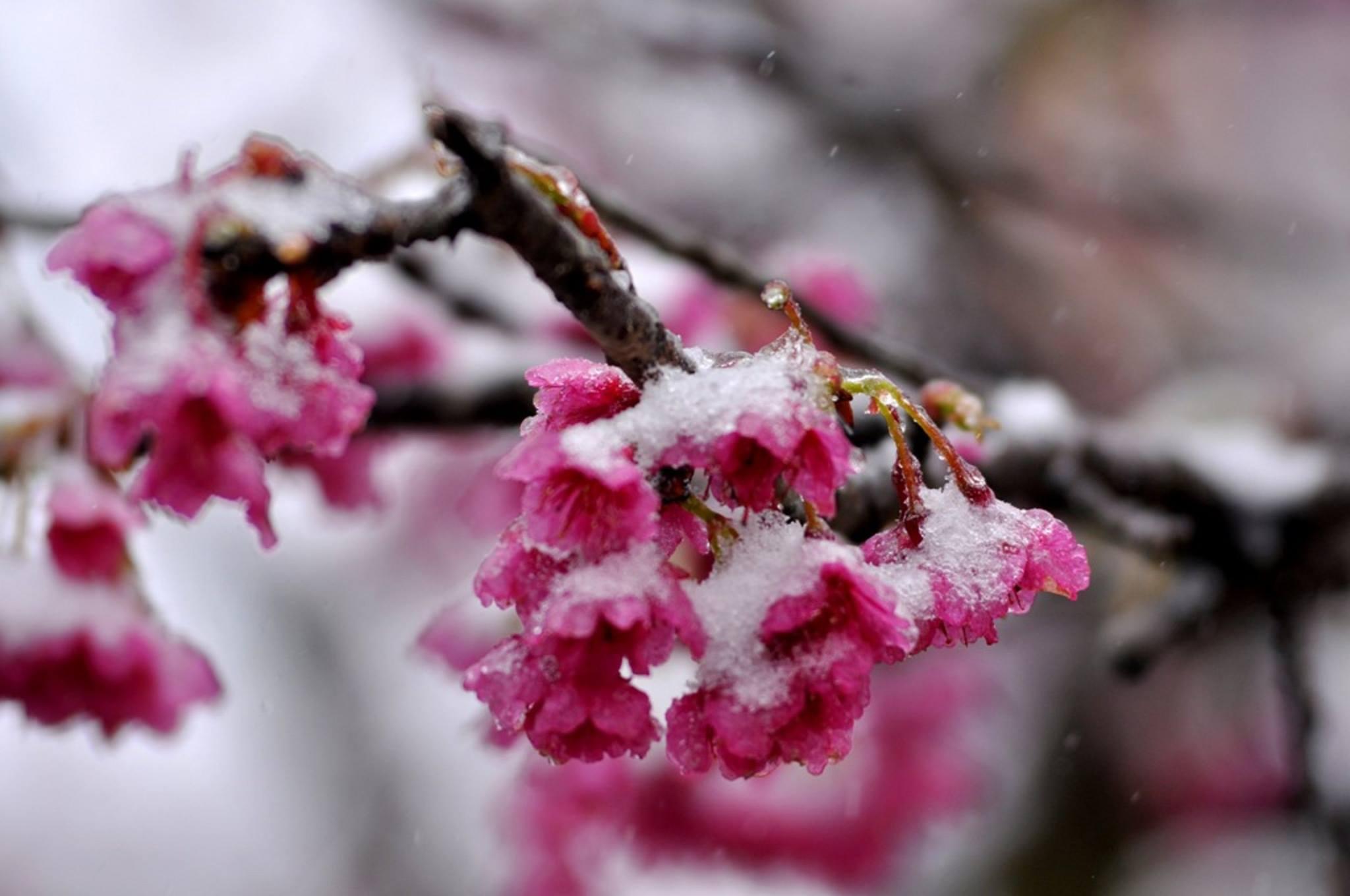 hoa đào nở trong làn tuyết trắng