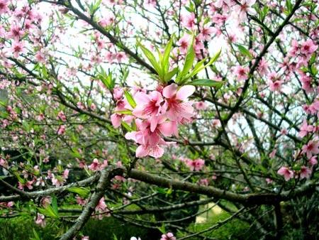 Sapa mùa xuân rực rỡ đào rừng