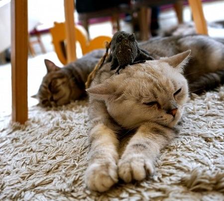 Quán cafe mèo Purr Cat Thái Lan