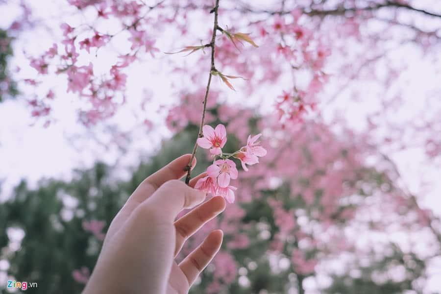 Mai Anh Đào nở rộ vào mùa xuân tại Đà Lạt