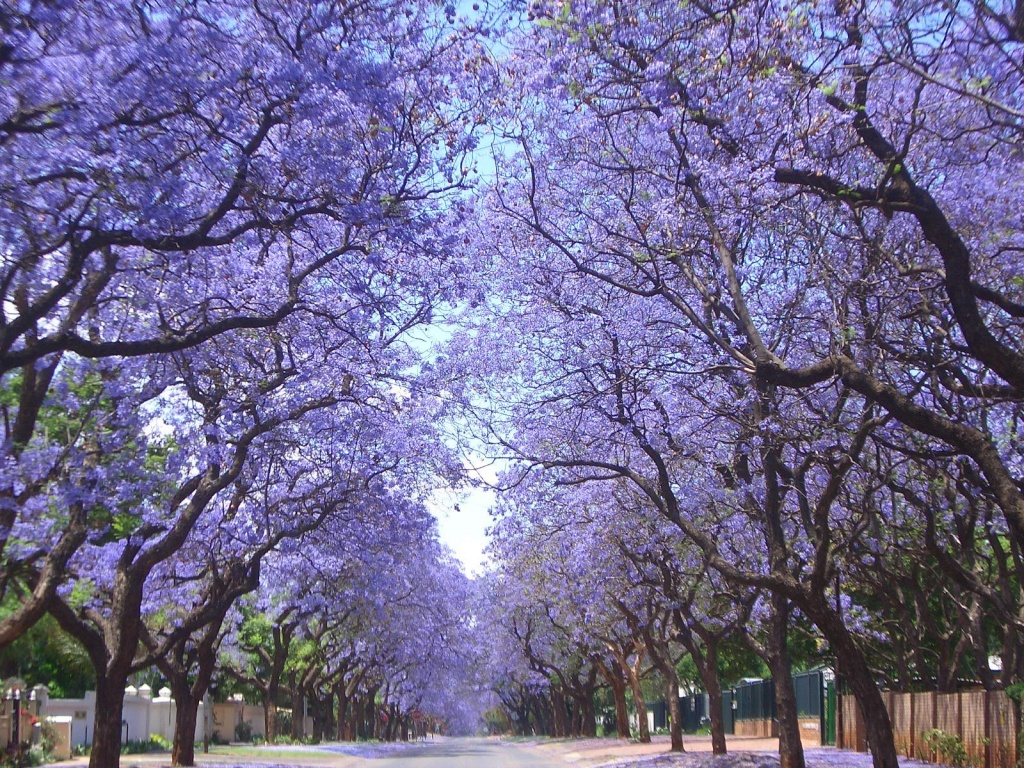Đà Lạt đẹp mê hồn trong mùa hoa phượng tím
