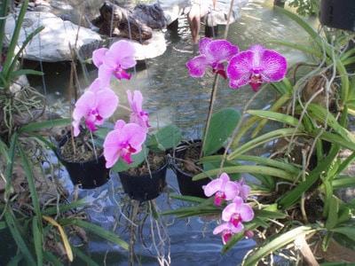 Những loài hoa lan quý
