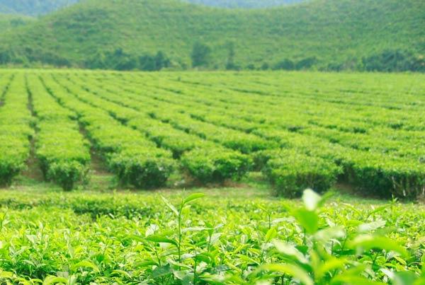 Không gian xanh ở đồi chè Đông Giang