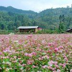 Lễ hội hoa Tam Giác Mạch Hà Giang 2018: MIỀN HOA – LAN TỎA