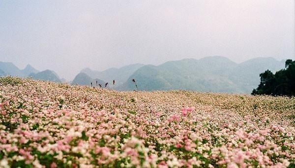 Mùa hoa mạch sắc tím hồng nở rộ trên nền đất màu xám của cao nguyên đá
