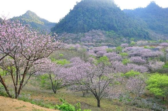 Hoa đào nở sớm ở Mộc Châu