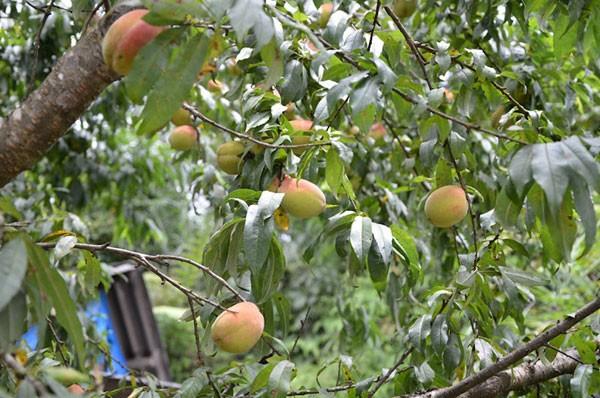 Đào thơm, ngon ở Mộc Châu
