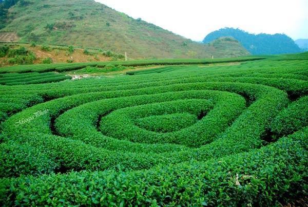 Những đồi chè xanh ngút ngàn ở Mộc Châu