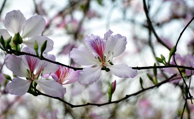 Sắc trắng tím thơ mộng của hoa ban