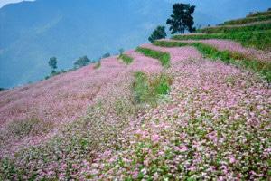 Vườn hoa tam giác mạch Hà Giang làm ngây ngất trái tim biết bao du khách