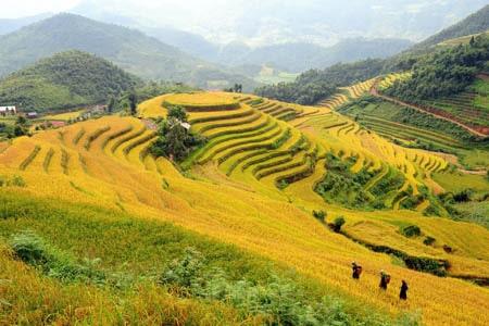 Sắc màu Hoàng Su Phì ở Hà Giang mùa lúa vàng