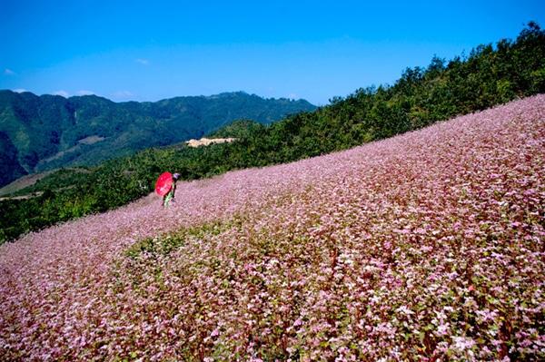 Vẻ đẹp hoa tam giác mạch ở trên vùng núi Tây Bắc