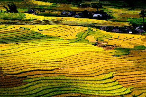 Bức tranh sinh động cánh đồng ruộng bậc thang ở Sapa mùa lúa chín