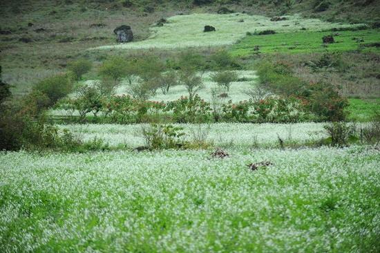 Hoa cải phủ trắng núi rừng Mộc Châu