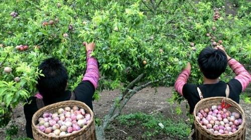 Du lịch Mộc Châu mùa trái cây chín quả