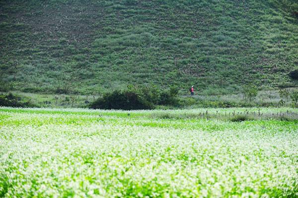 Những cánh đồng hoa cải trắng rực rỡ tuyệt đẹp ở Mộc Châu