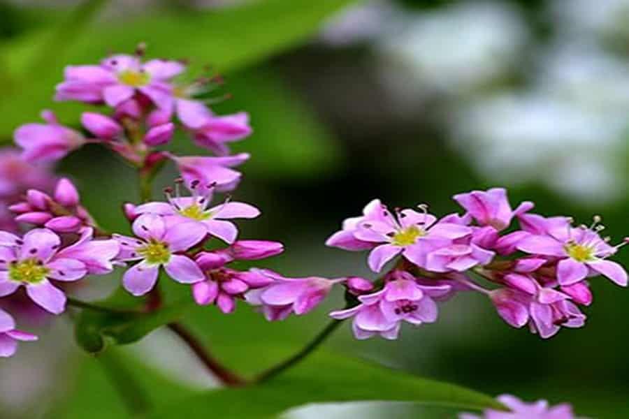 Đừng bỏ qua thời gian này để có cơ hội ngắm hoa Tam Giác Mạch tại Mộc Châu