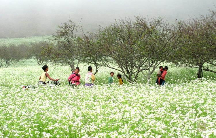 Vẻ đẹp tinh khôi, trong lành và bình yên cánh đồng hoa cải trắng Mộc Châu