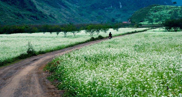 Khắp nẻo đường, cánh đồng, quả đồi ở Mộc Châu rực rỡ mùa hoa cải trắng