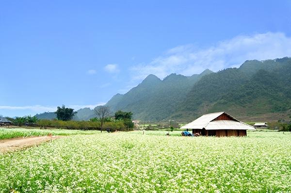 Du lịch Mộc Châu mùa hoa cải trắng