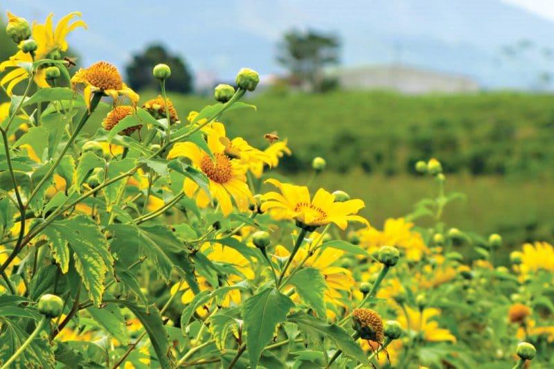 Du lịch Đà Lạt tháng 10 ngắm sắc vàng tươi của hoa dã quỳ