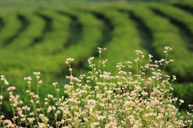 Vườn hoa tam giác mạch gần đồi chè xanh mướt