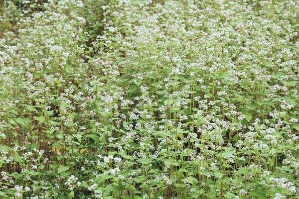 Hoa tam giác mạch ở Bắc Sơn không rực rỡ nhưng cũng khiến du khách mê mẩn