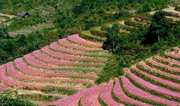 Hoa tam giác mạch ở Si Ma Cai rực rỡ không kém gì Hà Giang