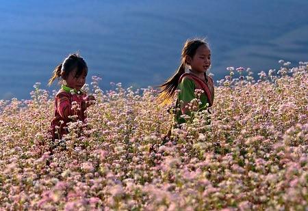 Vẻ đẹp của những cánh đồng hoa tam giác mạch
